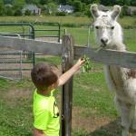 Feeding Fletcher the Llama